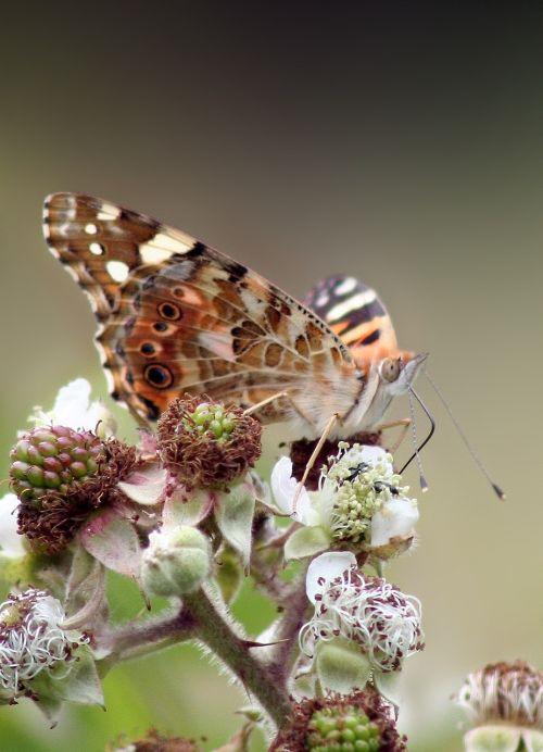 butterfly macro wild raspberry