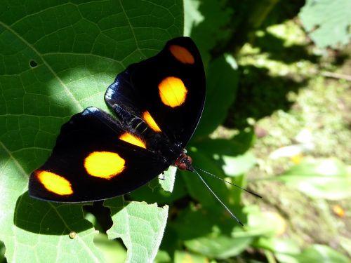butterfly orange task black