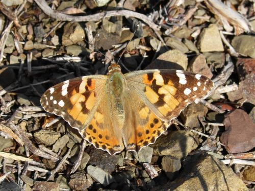 butterfly vanessa cardui vanessa of thistles