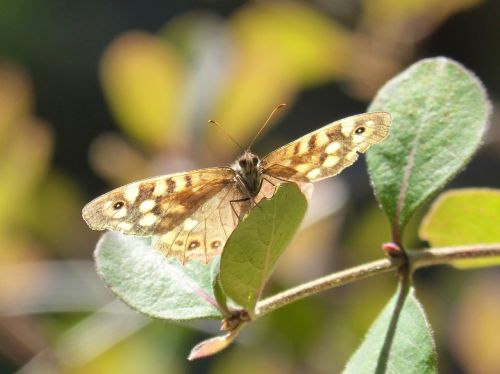butterfly lasiommata megera butterfly saltacercas