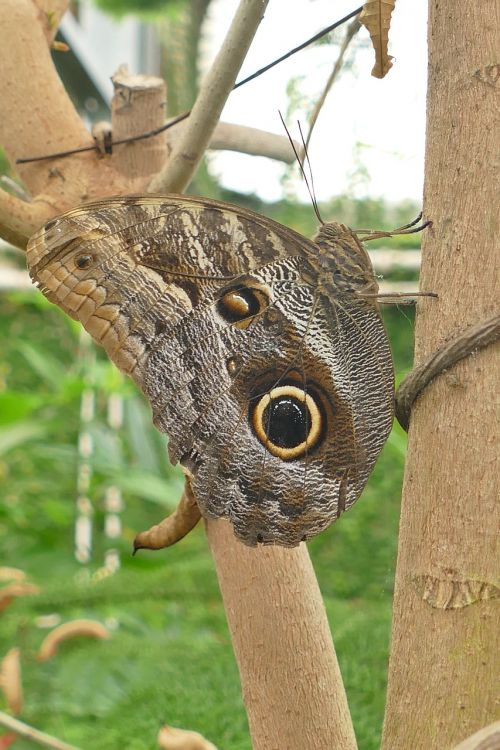 butterfly owl butterfly insect