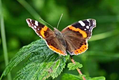butterfly admiral insect