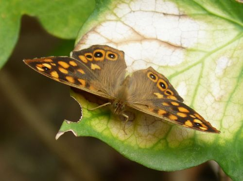 drugelis,saltacercas,margenera,lasiommata megera,drugelis saltacercas,lepidopteran,oranžinė drugelis