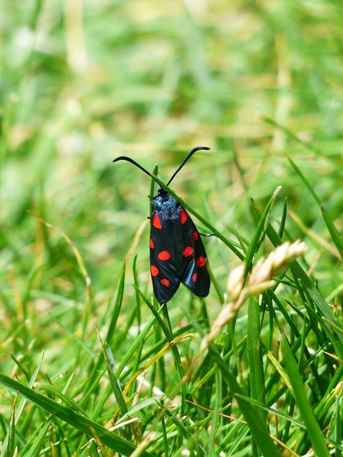 butterfly red black