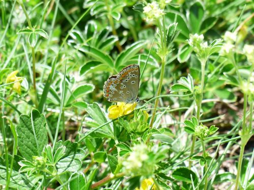 butterfly restharrow's blue polyommatus icarus