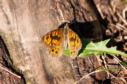 wall fox lasiommata megera butterfly