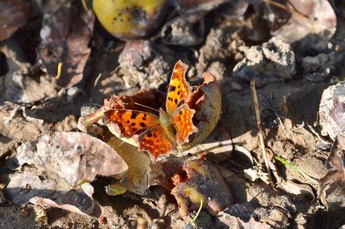 butterfly rotten fruit autumn