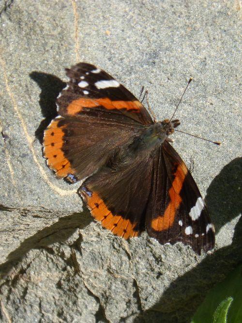 butterfly atalanta rock