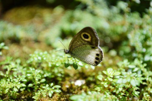 drugelis,mažytė drugelis,nekaltas,mielas,gyvūnas,Iš arti,Šri Lanka,Mawanella,ceilonas