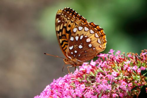 butterfly great spangled fritillary fritillary butterfly