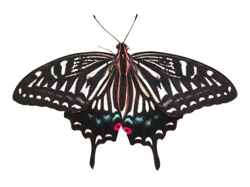 butterfly butterfly isolated isolated butterfly