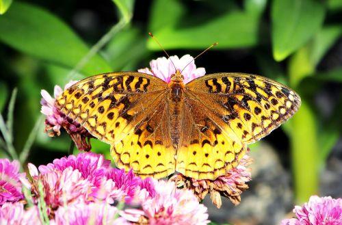 butterfly great spangled fritillary fritillary