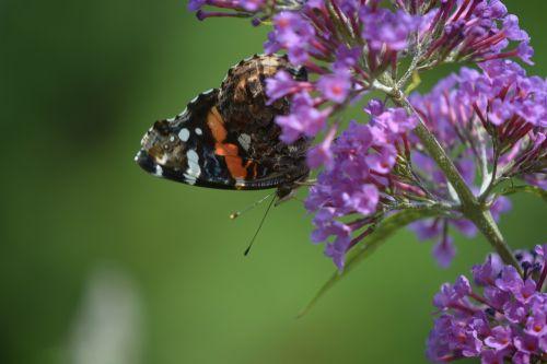 butterfly skipper pollination