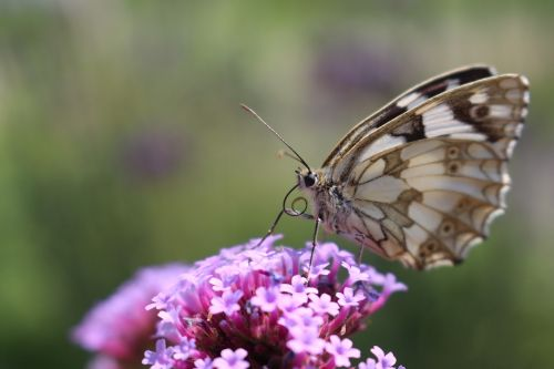 drugelis,gėlė,gamta