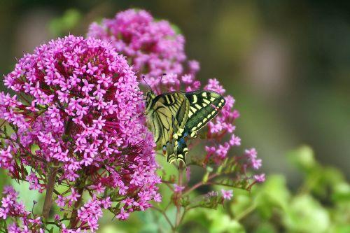 butterfly butterflies flowers