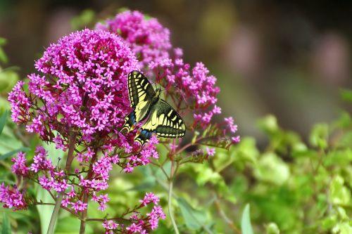 butterfly flowers buddleja