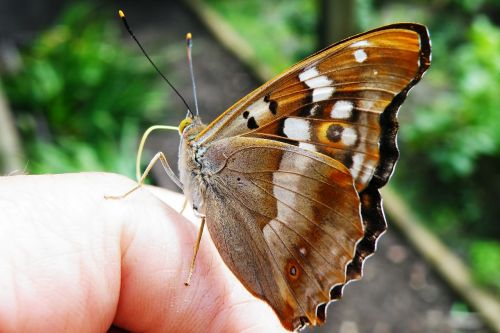 butterfly lesser purple emperor purple emperor