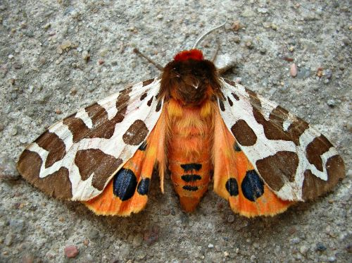 butterfly insect garden tiger moth
