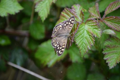 drugelis,raguotas medis,raguotas,laukinė gamta,vabzdys,Anglija,sparnas,sėdi,entomologija