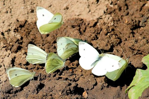 butterfly butterflies cabbage white linge