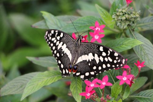 butterfly lepidoptera insect
