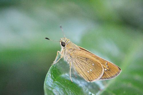 butterfly rhopalocera tiny butterfly