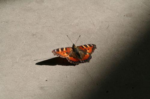 drugelis,Povas vabzdys,gyvūnas,Povų drugelis
