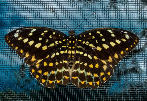 butterfly insect public record
