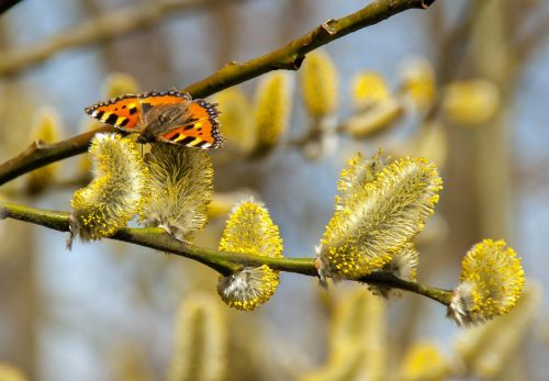 butterfly willow catkin spring