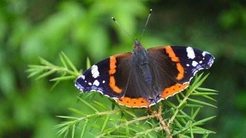 butterfly babôčka admiral
