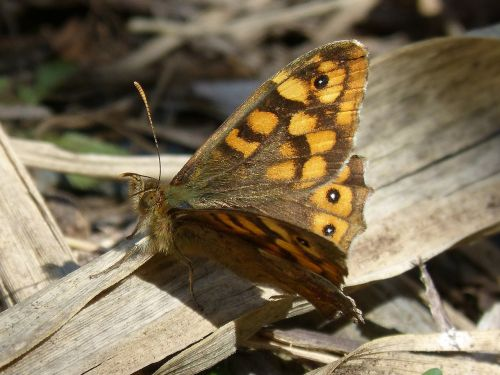 butterfly backlight saltacercas