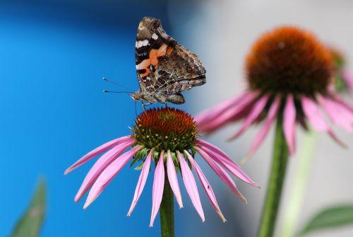 butterfly echinacea flower