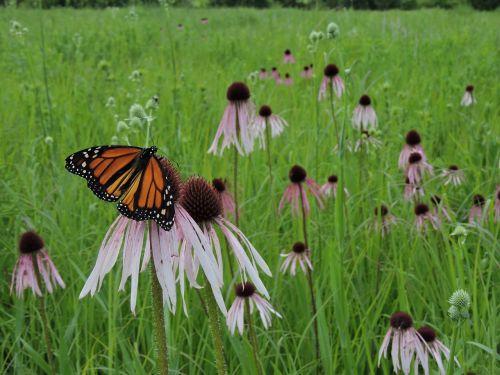 butterfly monarch field