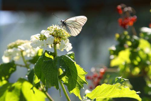 butterfly viburnum summer
