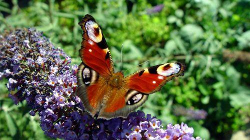 butterfly buddleja davidii insect