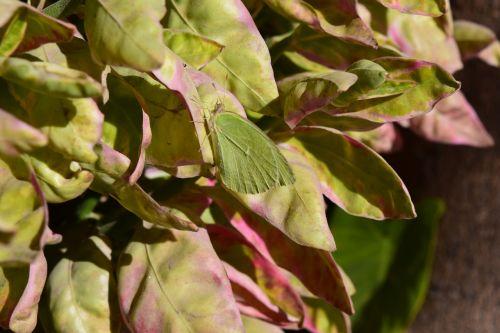 butterfly tree purity