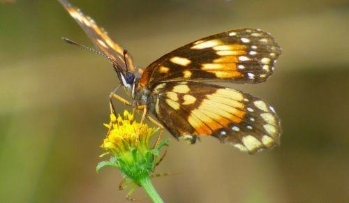 butterfly pollen flower
