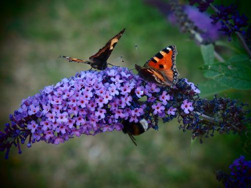 butterfly butterfly bush butterfly bush david