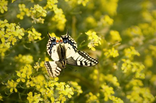 butterfly yellow swallowtail