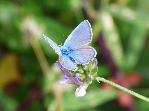 butterfly blue butterfly blaveta commune