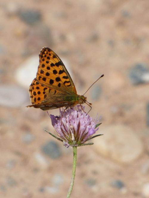 butterfly butterfly aranja wild flower