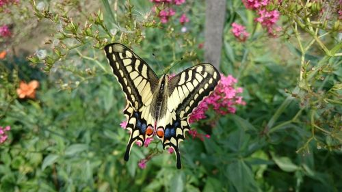 butterfly swallowtail nature