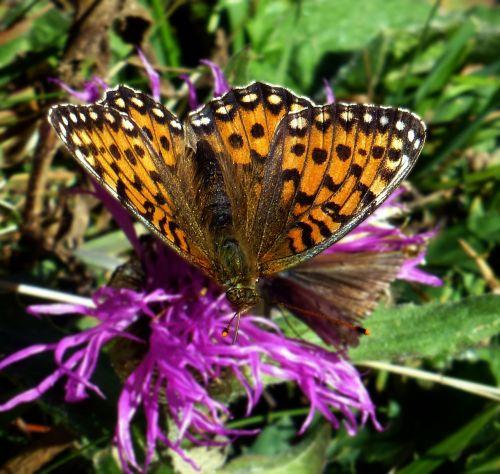 butterfly fritillary blossom