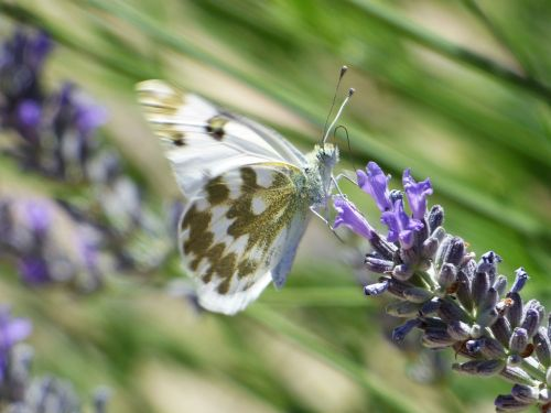 butterfly wild flower lavender