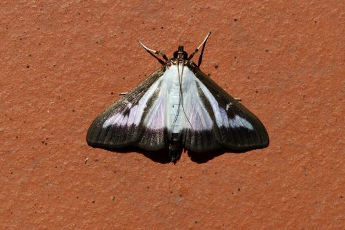 butterfly boxwood borer book tree caterpillar