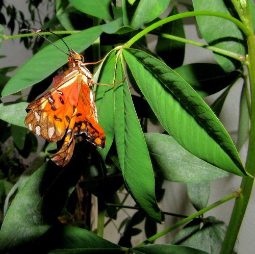 drugelis,monarchas,nariuotakojų,metamorfozė,reiškia,aplinka