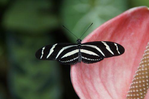 drugelis,exot,egzotiškas,vabzdys,atogrąžų,gyvūnas,sparnas,gamta,gražus,Uždaryti,drugelis namas,atogrąžų drugelis,heliconius,heliconius charitonius,zebra longwing,edelfalter