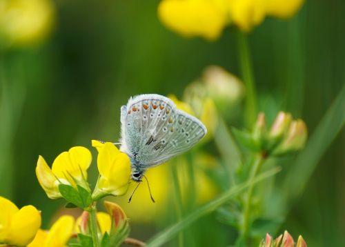 butterfly restharrow's blue butterflies