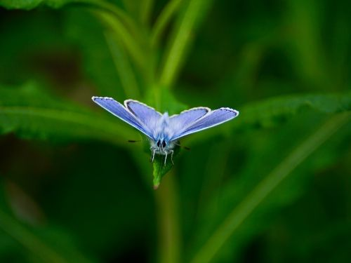 butterfly,cranesbill-blue,rarely,butterflies,nature,protected,edelfalter,threatened,nature conservation