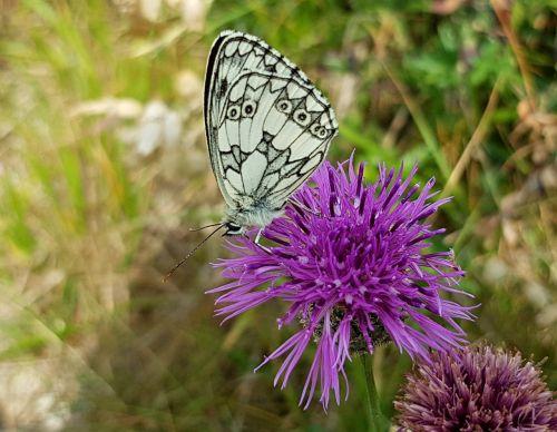 drugelis,kriauklės drugelis,vabzdys,žiedas,žydėti,gėlė,gamta